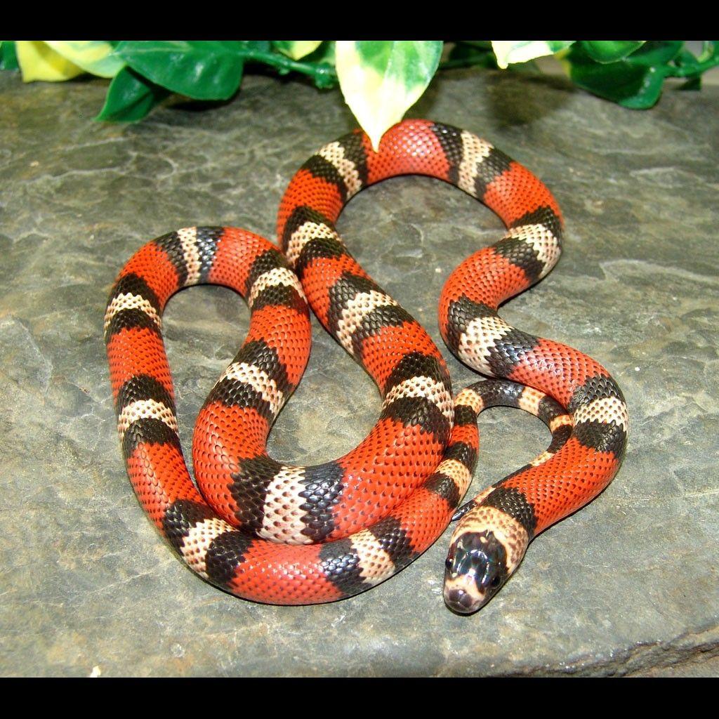 Honduran Milk Snakes (Lampropeltis Triangulum Hondurensis