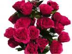 www.efavormart.com-fushia, silk, flower, open, giant, rose, silk flowers, silk flower, silk, flower, flowers, bud, open roses, roses,