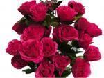 www.efavormart.com-fushia, silk, flower, open, giant, rose, silk flowers, silk flower, silk, flower, flowers, bud, open roses, roses,