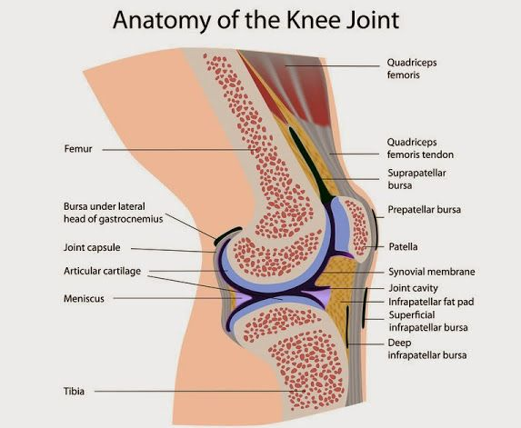 Anatomy Of Knee Joint Originally Shared By Gecko Massage Medical