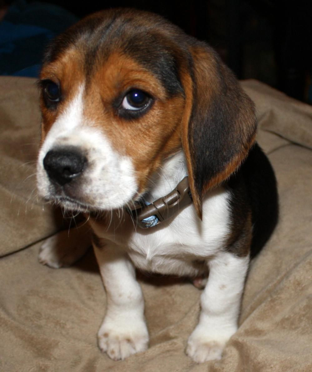Cute Baby Beagle Puppies