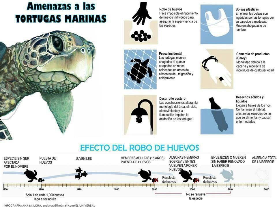 Resultado de imagen para infografia tortuga marina