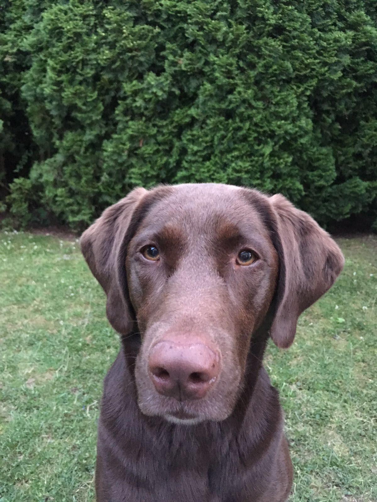 Labrador Braun Labrador braun und Braun werden