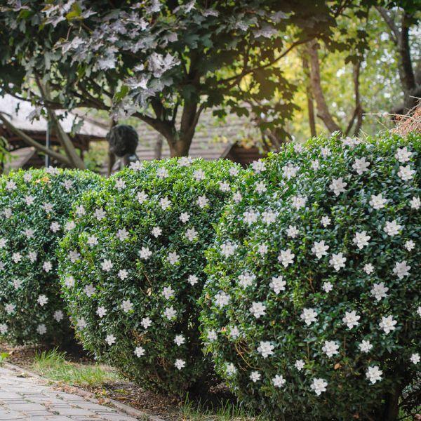 Frost Proof Gardenia Beautiful Flowers Garden Lavender Garden