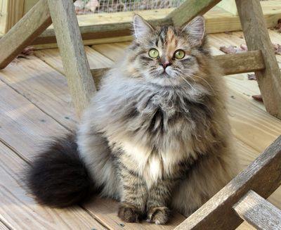 Siberian Cat Siberian Cats Siberian Kitten Siberian Kittens