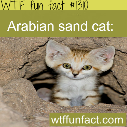 Arabian sand cat animals. MORE OF WTF FACTS are coming