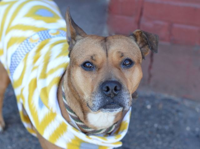 TO BE DESTROYED 4/12/15 – CINDY – A1030991 – BROOKLYN, NY I am a female brown pit bull and germ shepherd mix. The shelter thinks I am about 4 YEARS old. I came in the shelter as a STRAY on 03/22/2015 from NY 11216, owner surrender reason stated was STRAY.