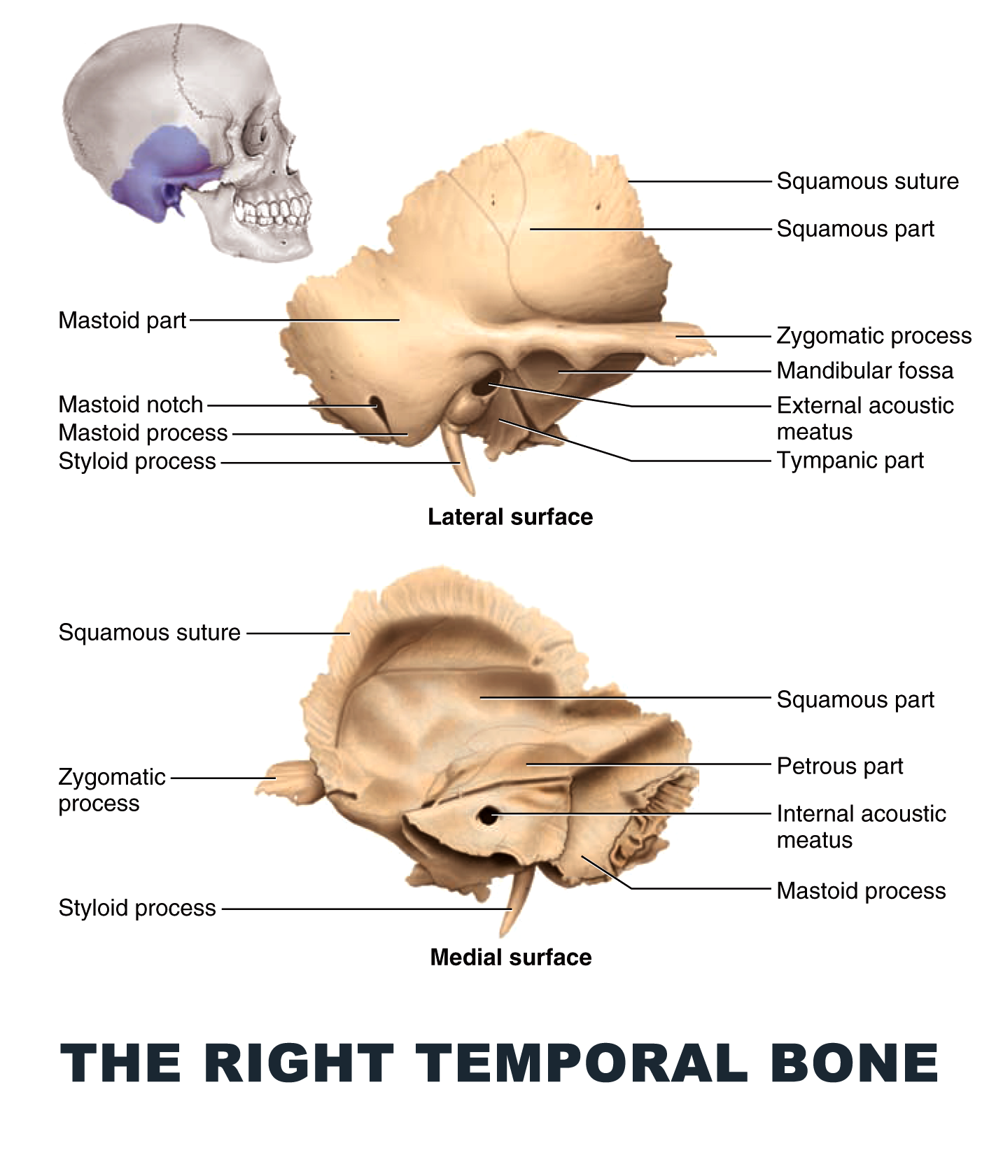 The Right Temporal Bone Anatomy Images Illustrations Anatomy