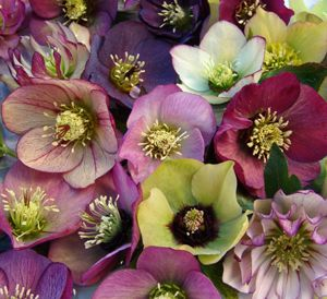 The lenten rose is one of my fave flowers.