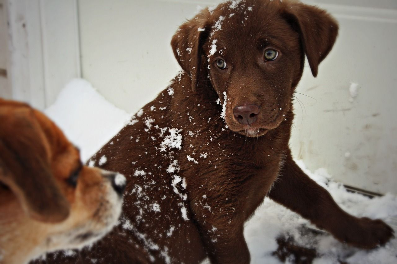 My Chocolate Lab Puppy And Chihuahua Beagle Mix Playing In Snow