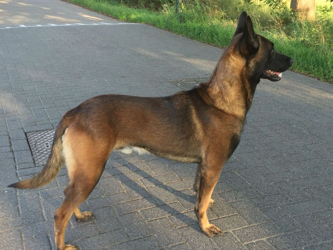 Protection Dog For Sale K9 Bikse 3 Year Old Knpv Ph1 Male