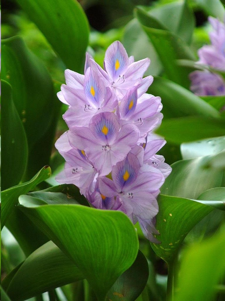 Water Hyacinth: Planting and Care 18