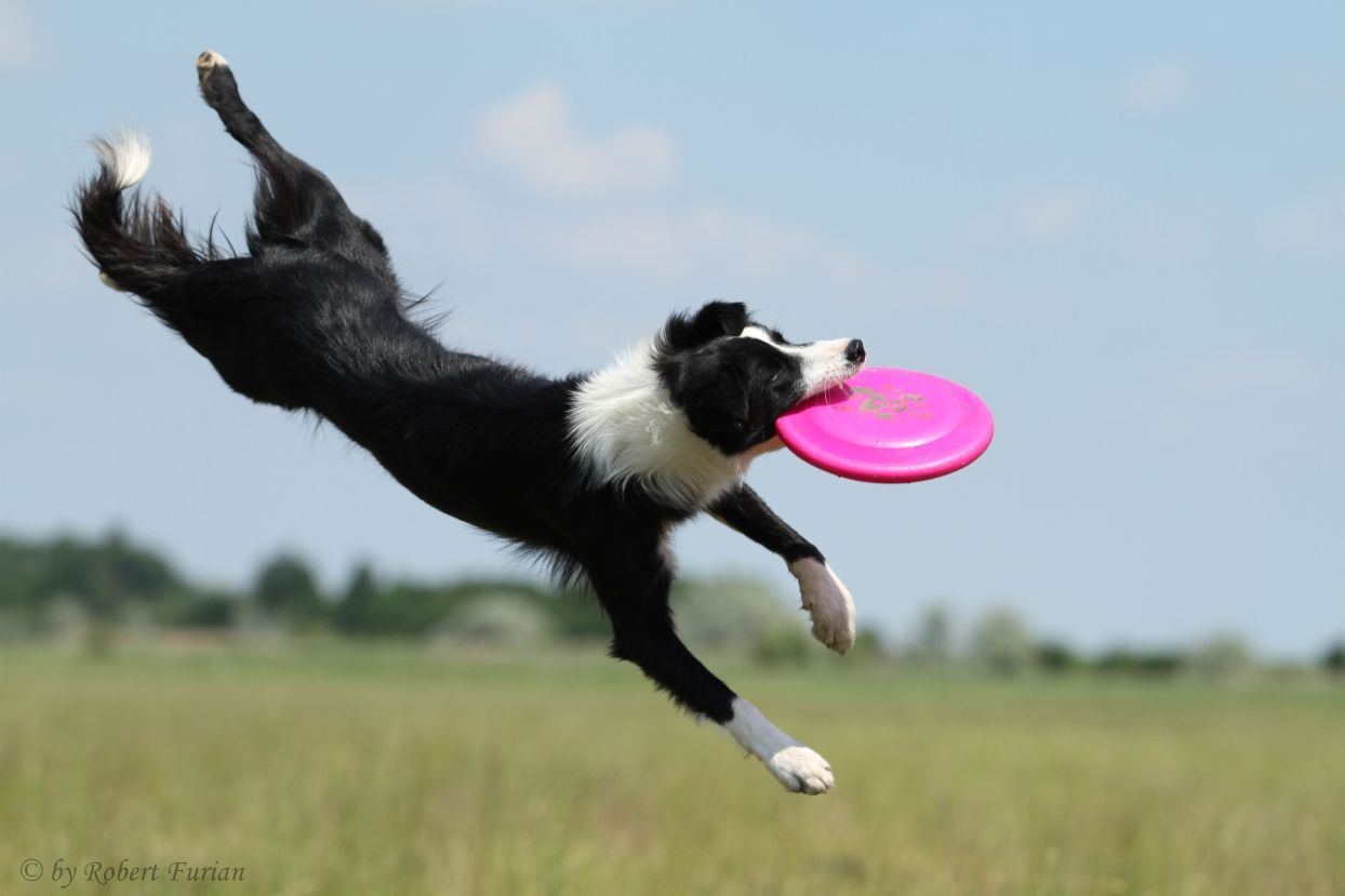 And yes they are the Frisbee dogs.