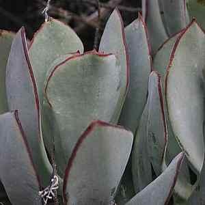 Cotyledon orbiculata Huisrivier PassatSan Marcos Growers