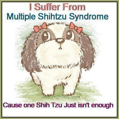 Facebook Shih Tzu Shih Tzus Shih Tzu Humor