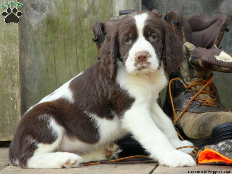 Rusty, English Springer Spaniel puppy for sale in