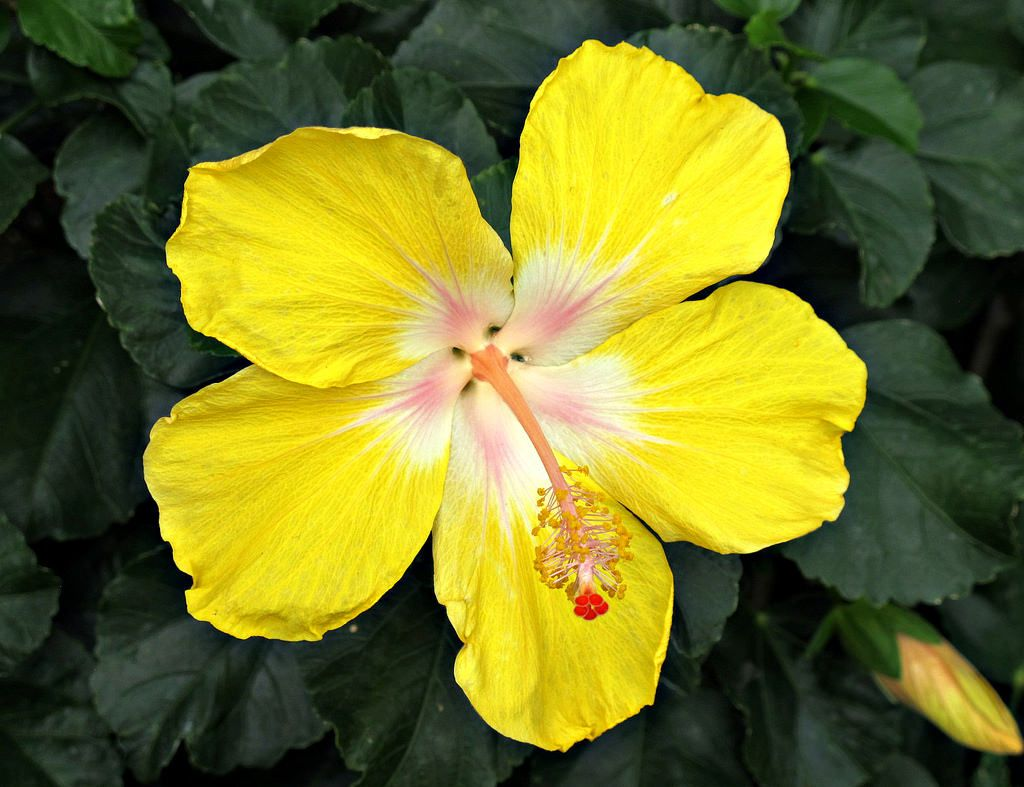 https://flic.kr/p/vn8WpA | Hibiscus, Longwood Gardens IMG_2816 | Longwood Gardens, Kennett Square, PA USA Photograph by Roy Kelley Roy and Dolores Kelley Photographs