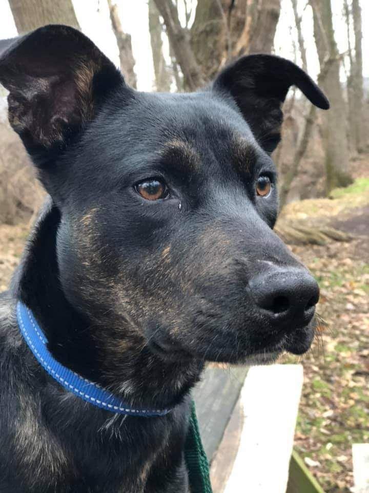 Adopt Dasher on Labrador retriever, Labrador retriever