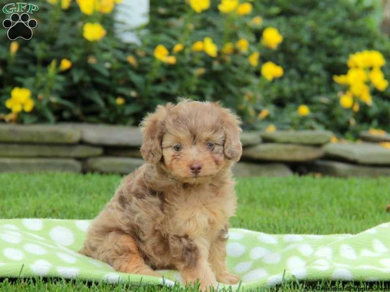 Miniature Aussiedoodle Puppies For Sale Aussiedoodle Aussie Doodle Puppy Puppies