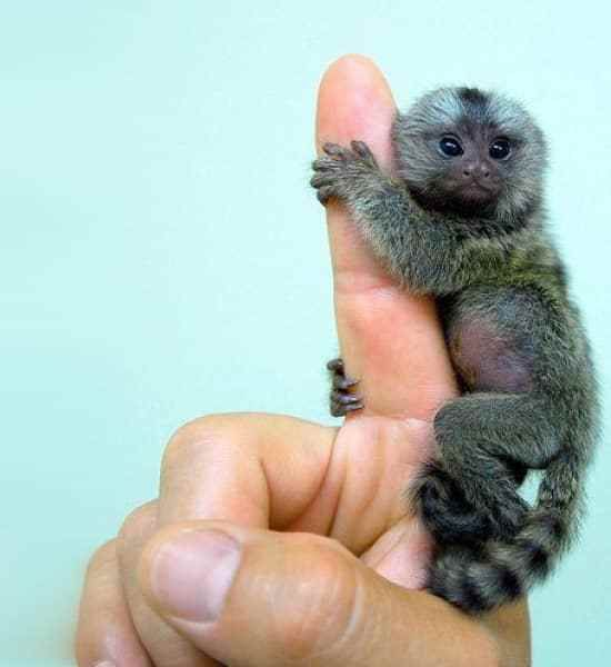 Finger Monkeys - Too Small To Be Real