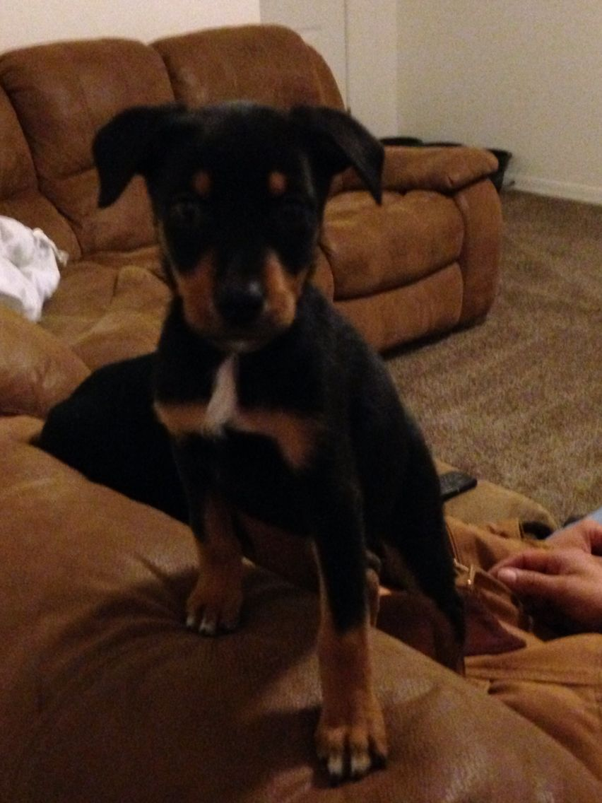 Doberman Australian Shepherd Mix 7 1 2 Week Old Puppy Welcome