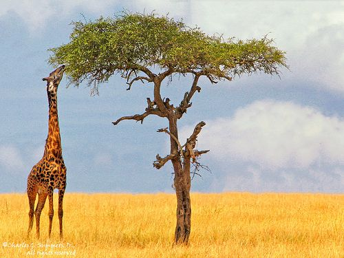 Serengeti Maasai Giraffe Feeding On Leaves Of A Acacia Tree Giraffe Feeding Giraffe Acacia Tree