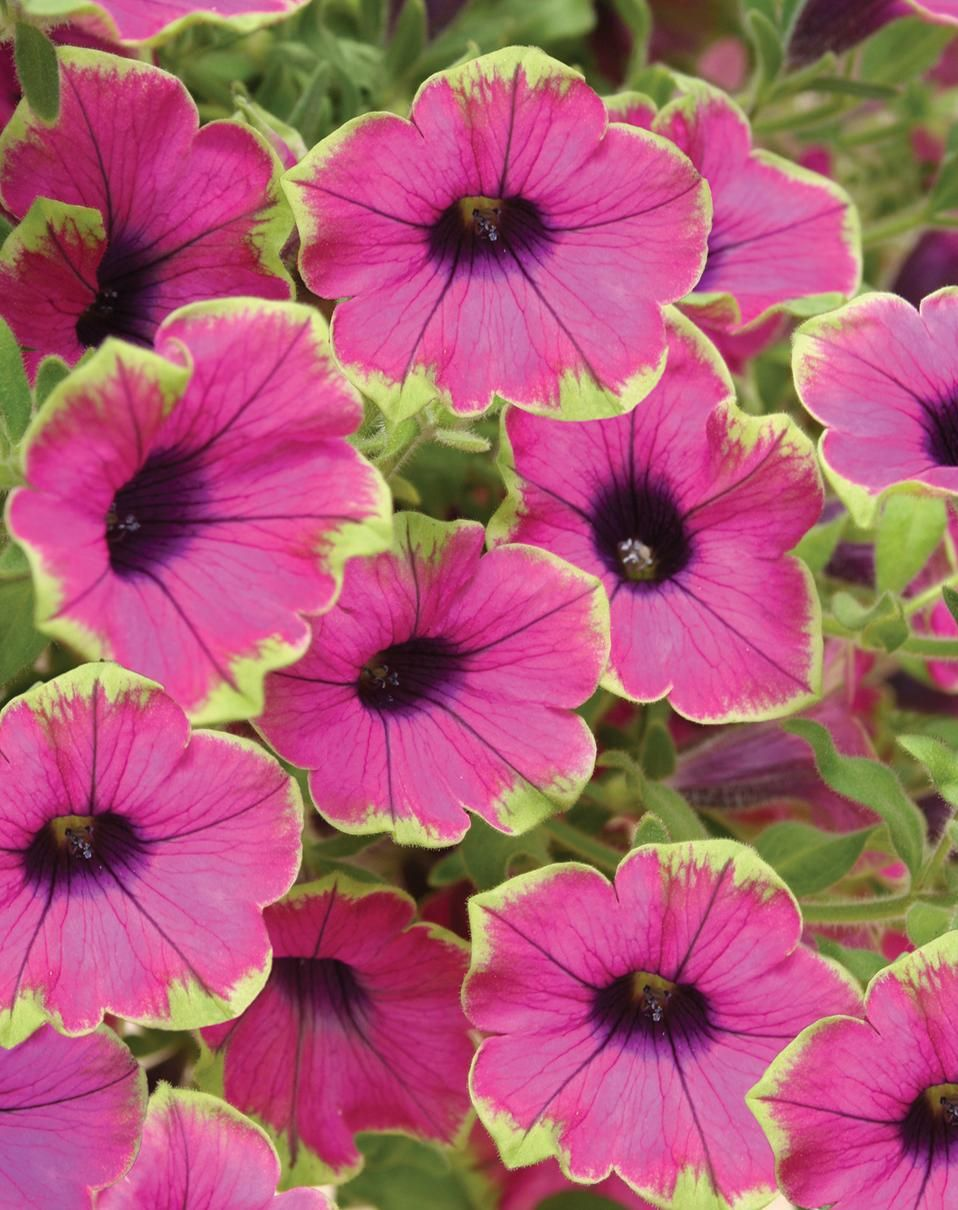 Supertunia Pretty Much Picasso Is The First Petunia With A Lime Green Picotee Edge Petunias Love Full Sun Being Watered And Petunias Plants Purple Petunias