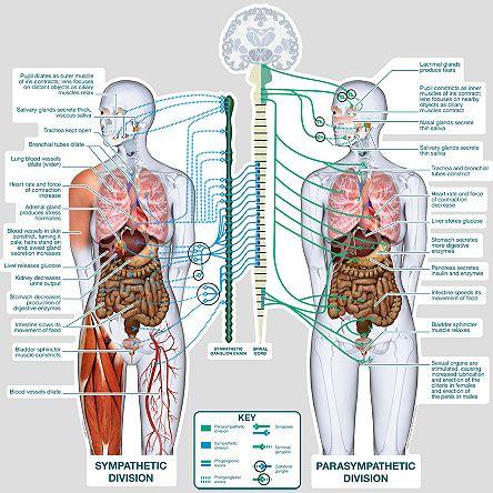 images for autonomic nervous system autonomic nervous. Black Bedroom Furniture Sets. Home Design Ideas