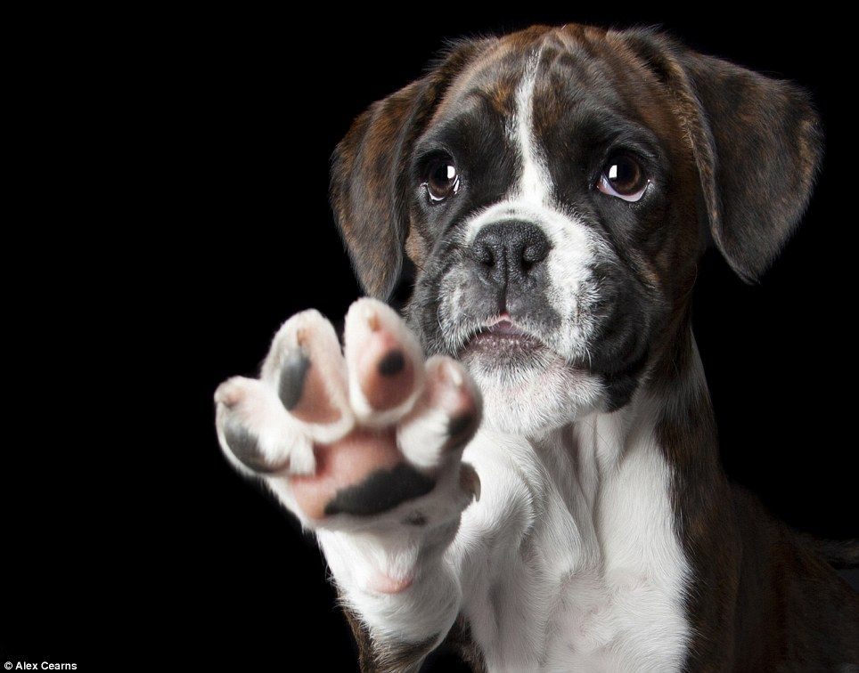 Are these the cutest animals in the world boxer dogs