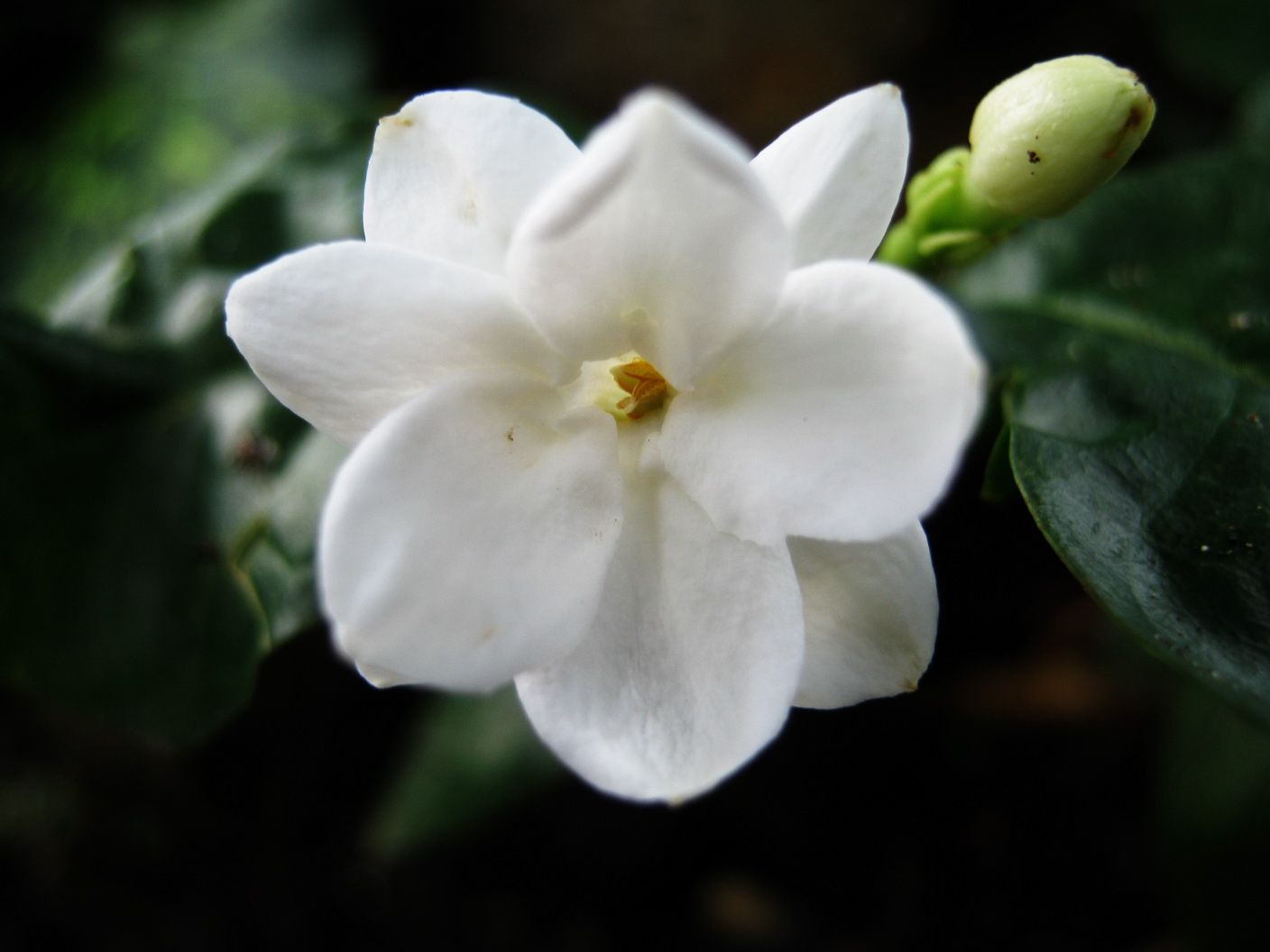 Jasmine jasmine flowers pinterest jasmine and flowers jasmine flowers are white in most species with some species being yellow flowered izmirmasajfo
