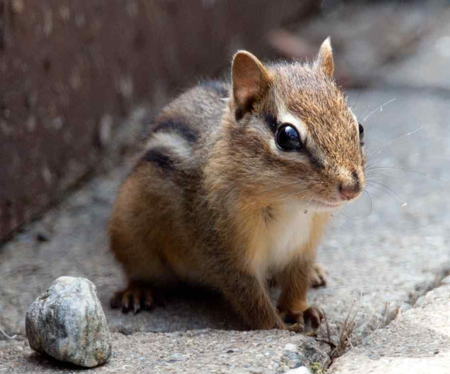chipmunks - Google Search