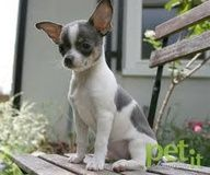 Grey White Just Like Cookie Cute Chihuahua Baby Dogs