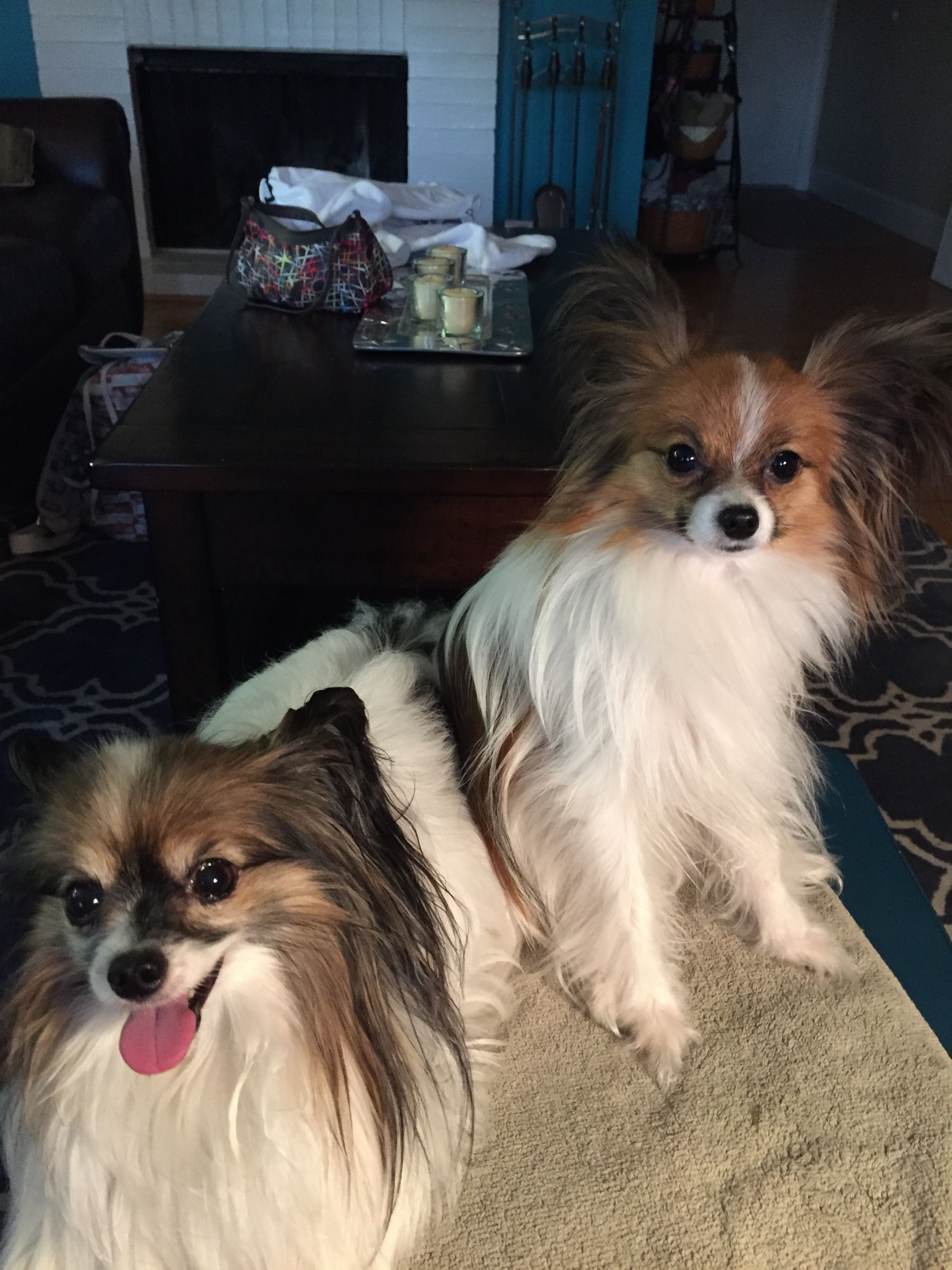 Pin By Pam Charney On The Papillon Ladies Papillon Dog Dogs Dog Pictures