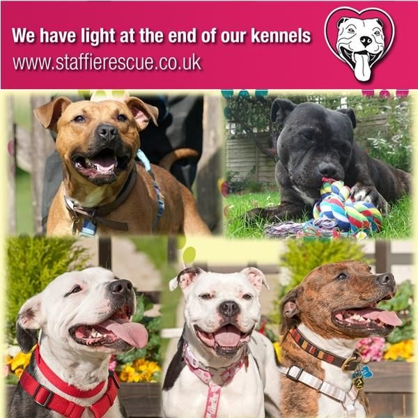 A #Staffie is destroyed every 80 mins in the UK. Pls save a Staffie if you can http://www.staffierescue.co.uk  #AdoptDontBuy