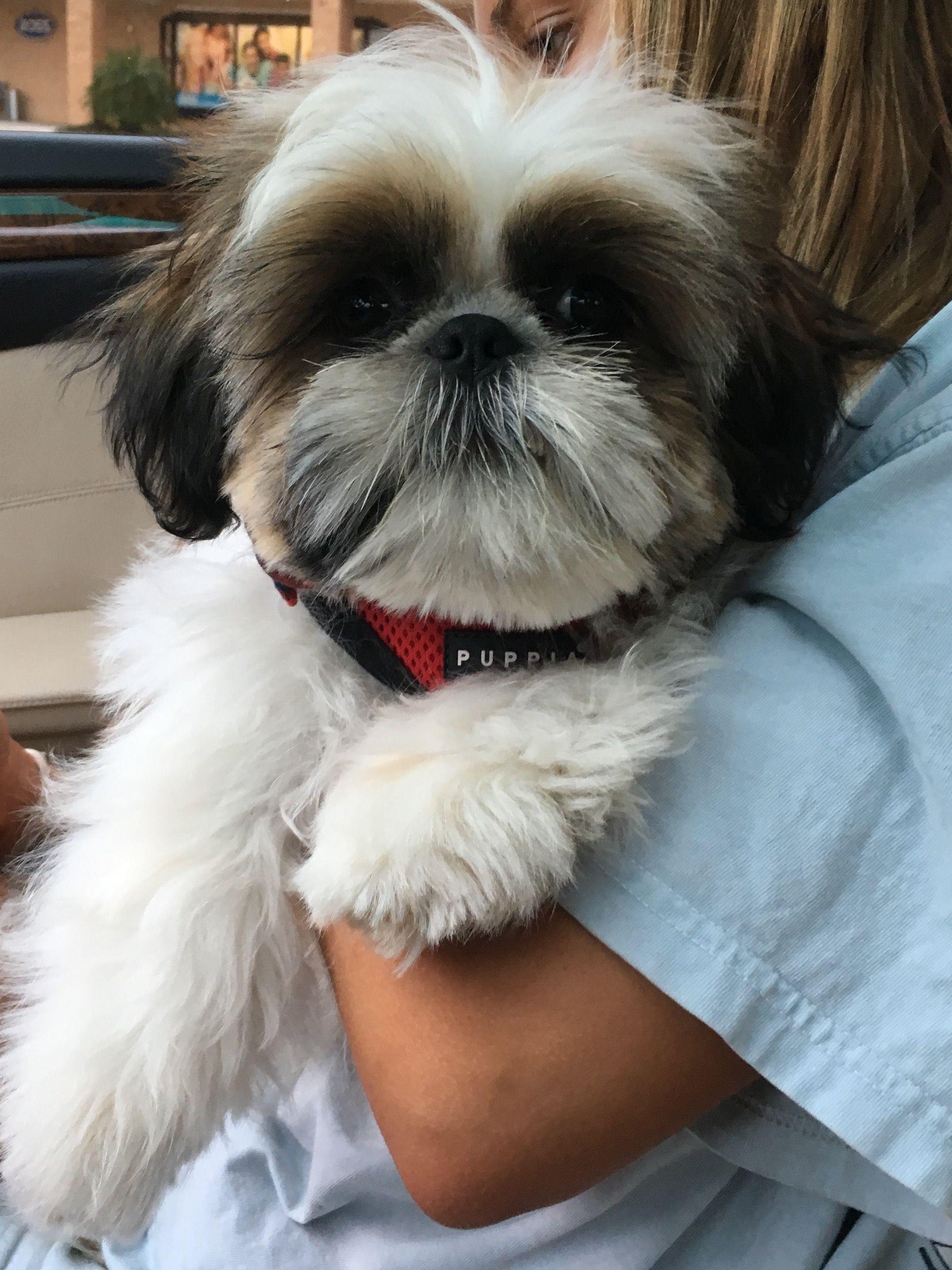 Hudson S Puppy Shih Tzu Face Trim Face Trimmer Shih Tzu Puppies