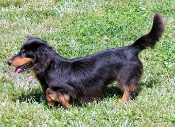 The Happy Woofer Dachshund Delaware Dog Breeder Puppies For