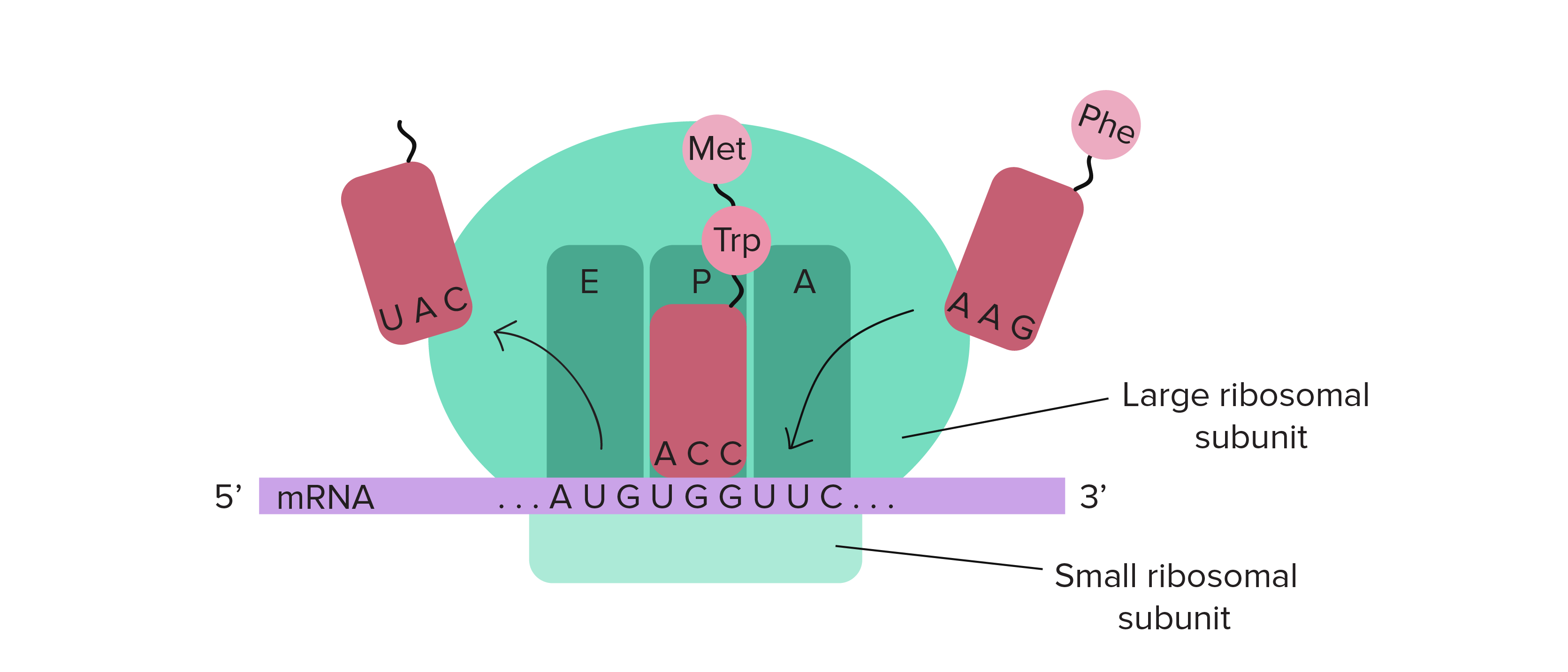 Trnas and ribosomes translation central dogma dna to rna to trnas and ribosomes translation central dogma dna to rna to protein ccuart Gallery