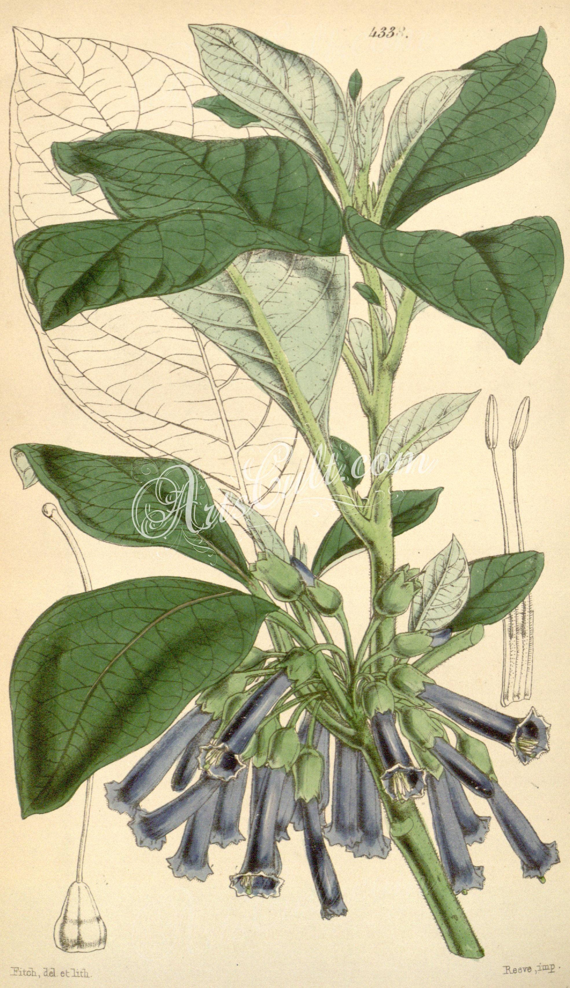 4338-chaenestes lanceolata, Lanceolate-leaved Chaenestes      ...