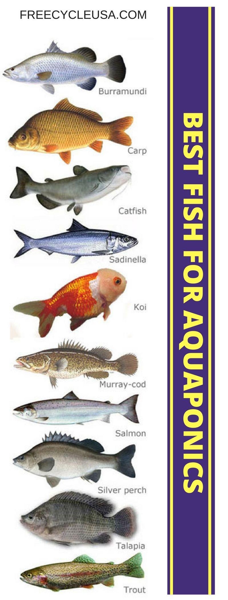 best fish for aquaponics sustainable living ideas pinterest
