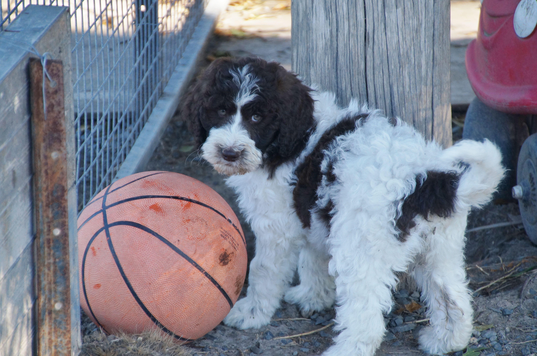 Parti poodle puppies for sale australia