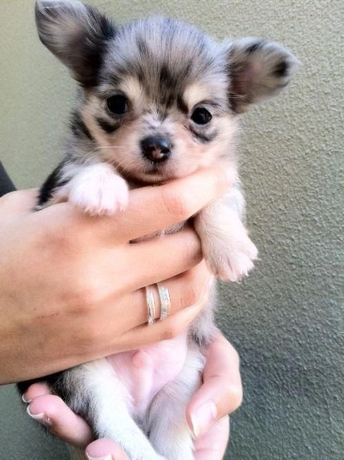 So cute! Maybe a Merle Chihuahua?! puppiessocute Merle