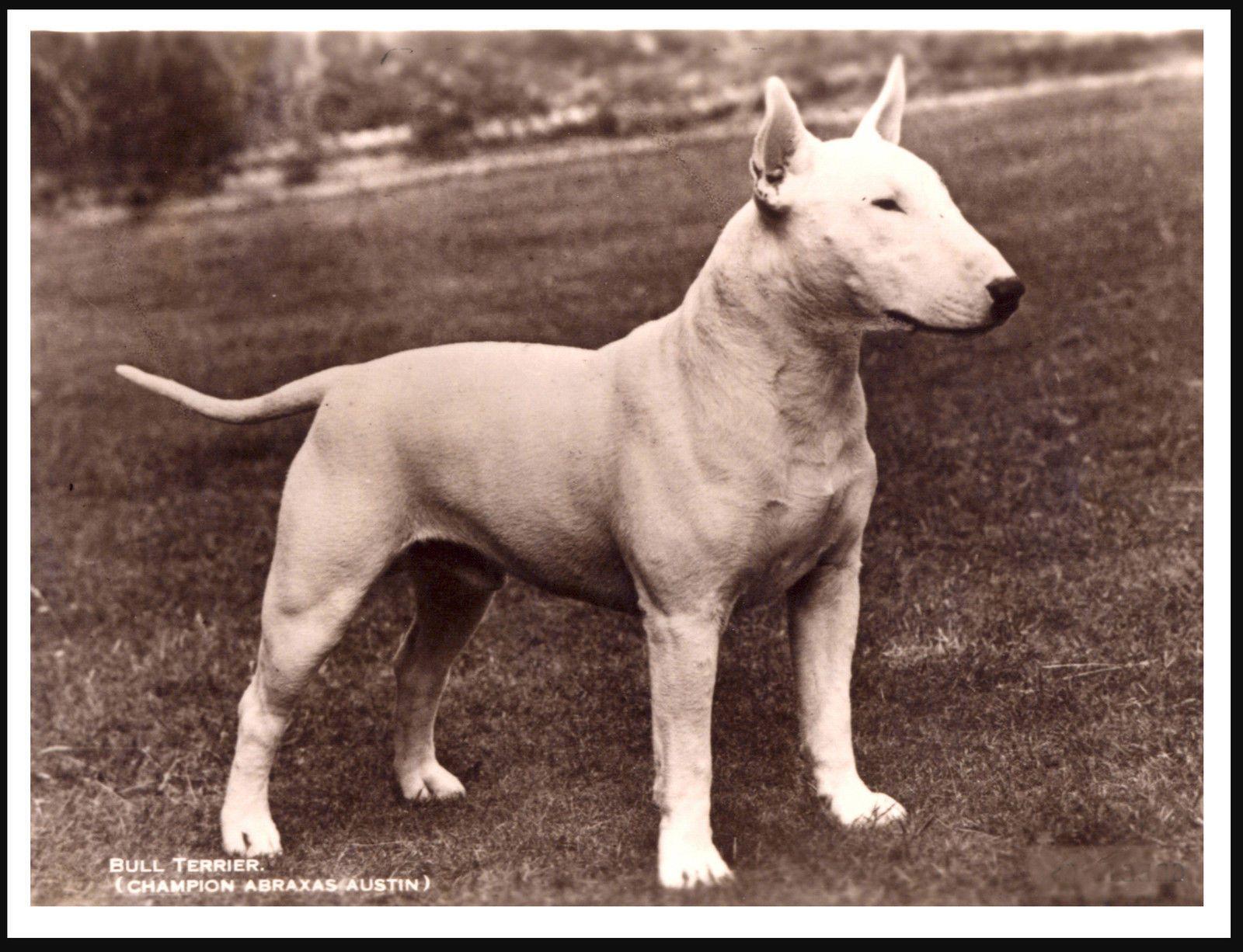 bull terrier abraxus bull terrier british bull terrier
