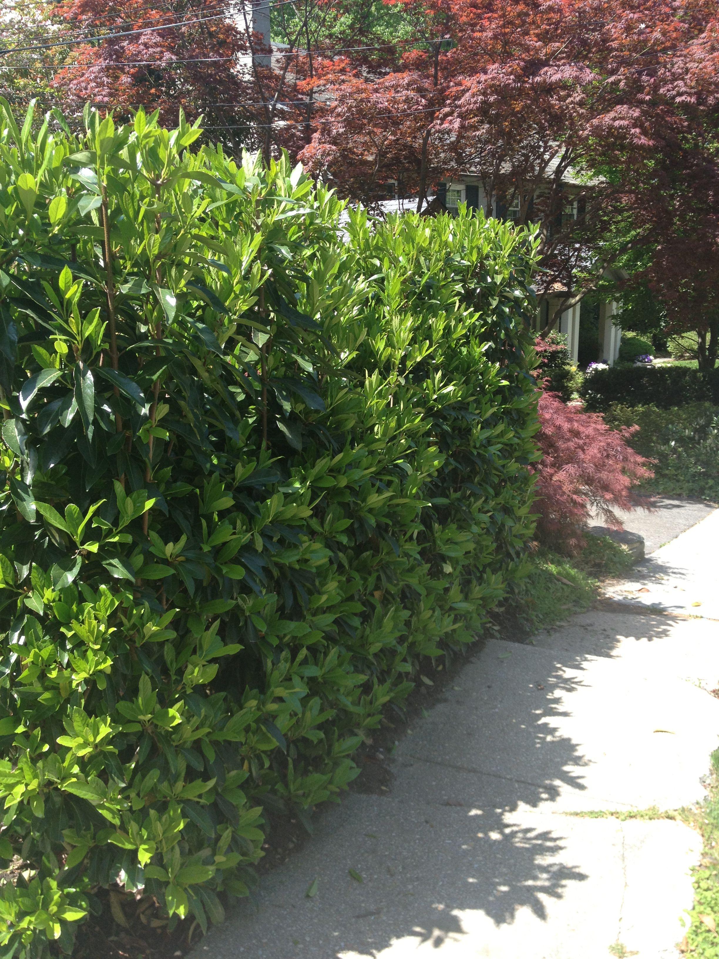 viburnum awabuki u0027chindo u0027 makes a great hedge or privacy barrier