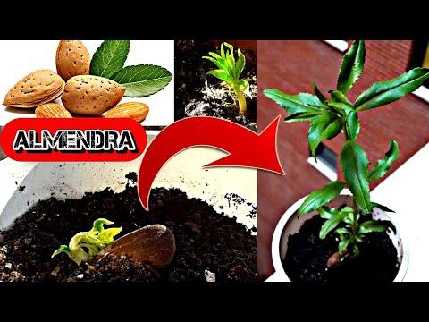 16 Como Germinar Almendras Con éxito Como Germinar Y Cultivar Almendra Almendro D Jardín De Productos Comestibles Cultivo De Plantas Huerta En Macetas
