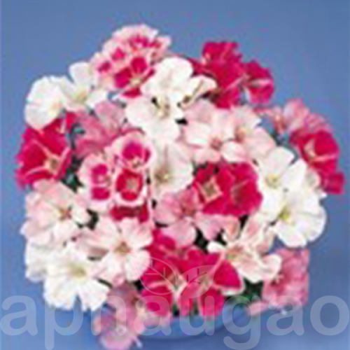 Clarkia Amoena Nana F1 50 Seeds Seeds Floral Wreath Flowers