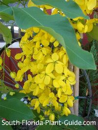 Cassia fistula flower tree reminds me of the golden chain tree cassia fistula flower tree reminds me of the golden chain tree mightylinksfo