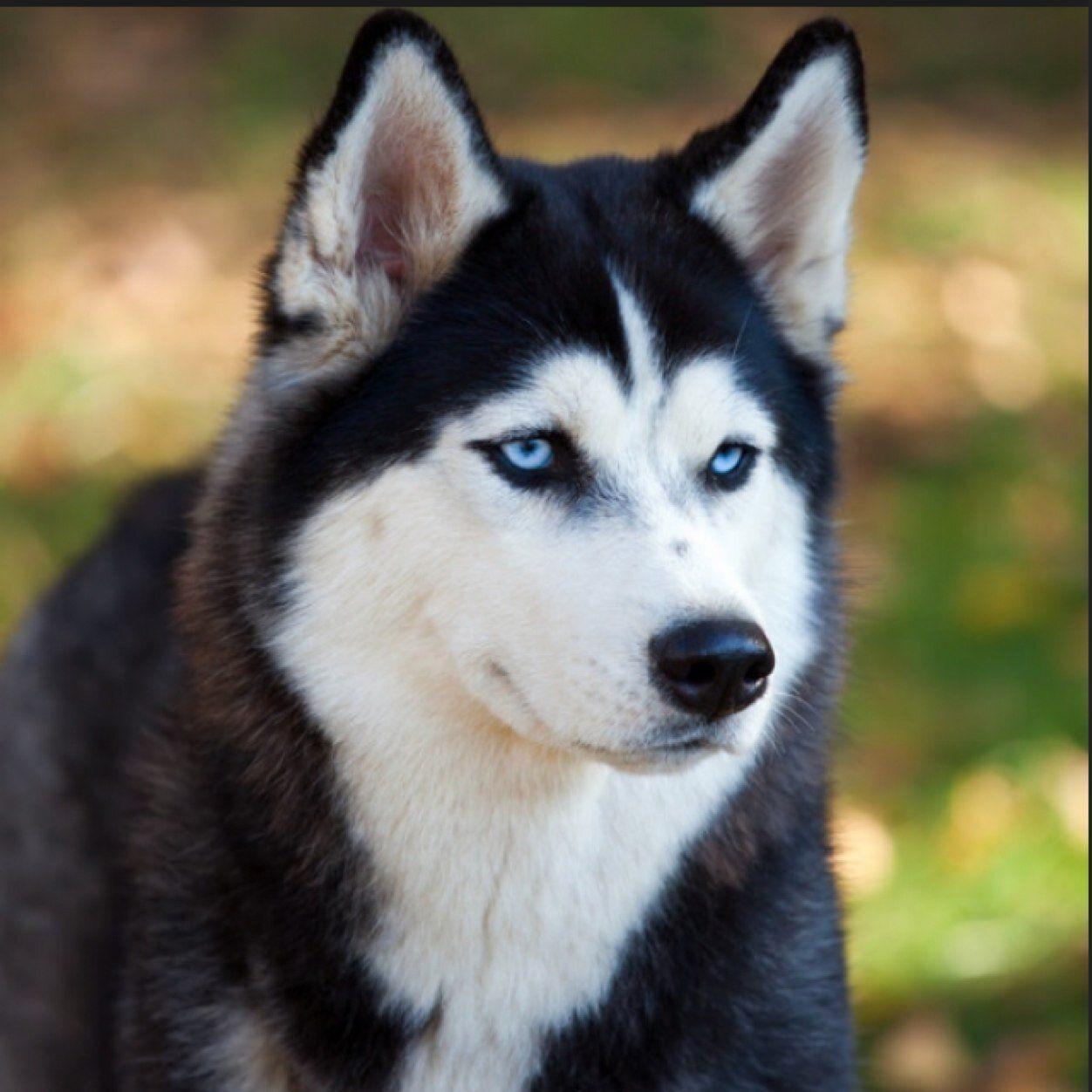 8y0ki2cz Jpeg 1252 1252 Husky Puppy Husky Breeds Siberian Husky