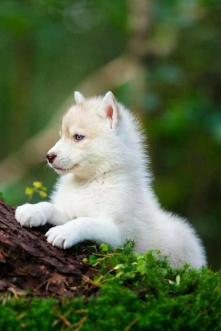 Wolf Cub. Baby Animals are Cute. | Baby Animals | Animals ...