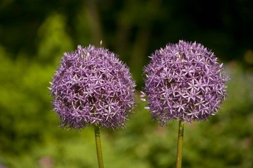 Lollipop Blooms Allium Globemaster There S A Few Different Varieties But They Grow Tall And Are Cool From What I Plants Perennial Bulbs Pretty Flowers