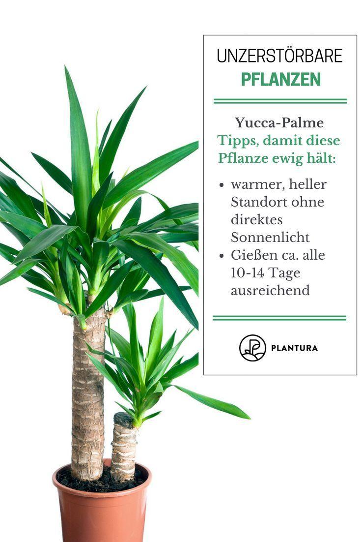 pflanzen #unzerstörbar #Yucca Palme: #Diese #und Yucca Palme